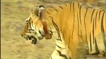Video : Grand reception for male tiger in Sariska