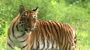 Video : The southern tiger zones