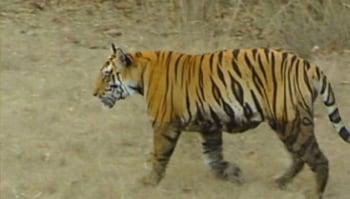 Video : Tiger land: Corbett