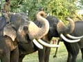 Video: Celebrating Pongal with the Jumbo in Tamil Nadu