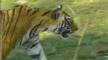 Video : Sindhudurg: Mining at cost of tigers?