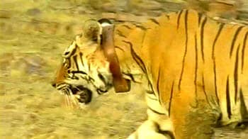 Video : Poisoning may have killed Sariska tiger