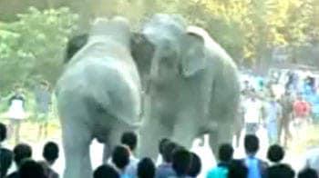 Video : Two elephants fight it out in Assam