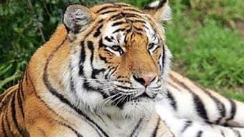 Video : Sundarbans: Tiger tranquilised to secure area