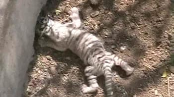 Video : Indore: White tiger cubs born in the city zoo