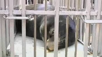 Video : Plastic surgery for sea lion