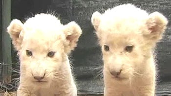 Video : Abandoned white lion cubs being brought up by nurse