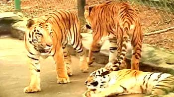 Video : Only branded chicken for these big cats!