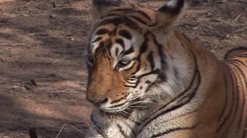 Video : Tiger loses paw to poachers' trap in Nagarhole