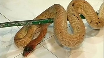 Video : Jaipur man arrested with 43 snakes in his car
