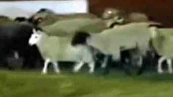Video : Goats, sheep flee slaughterhouse