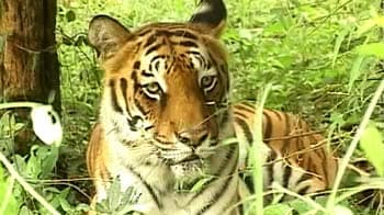 Video : Saving tigers, good economics?