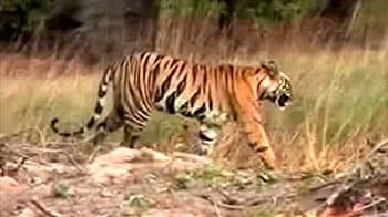 Video : सरिस्का अभयारण्य में बाघ की मौत