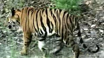Video : बाघ ने ली शावक की जान