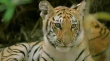Videos : पन्ना नेशनल पार्क से गायब हुए शावक