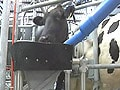 Video : No farmers required to milk these cows