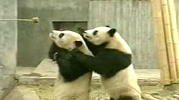 Video : Pandas slip, slide and play