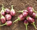 Video : Pros and cons of Bt Brinjal