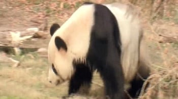 Video : Two pandas are part of US-China diplomacy