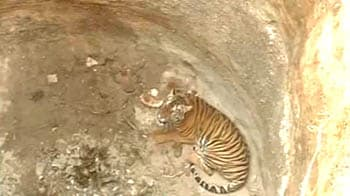 Video : Tigress falls into dry well, rescued