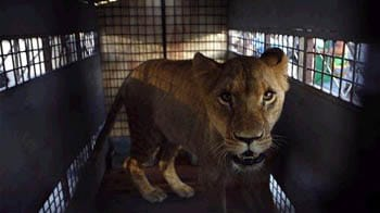 Video : A new lease of life for 25 Bolivian lions