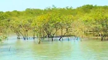 Video : Saving the Mangroves, Gujarat's lifeline