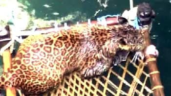 Video : A leopard emerges from a well on a cot