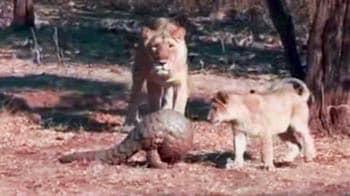 Video : Pangolin battles eight lions