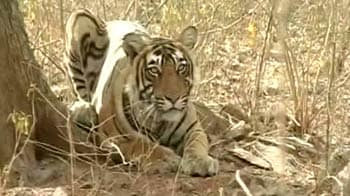 Video : In Sariska, new plan to monitor tigers