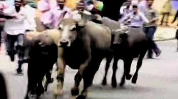 Video : Buffaloes used as shields by Osmania protesters