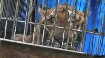 Videos : जिम कॉर्बेट में घायल बाघ को बचाया गया