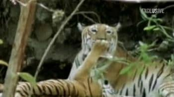 Video : The vanishing tigers in Panna