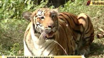Video : More tigers in Mudumalai