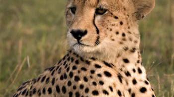 Video : Tiger experts say no to cheetahs
