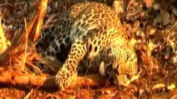 Video : Leopard trapped near Mumbai-Goa Highway